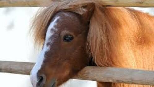 Paseo en pony ¡tiempo ilimitado!